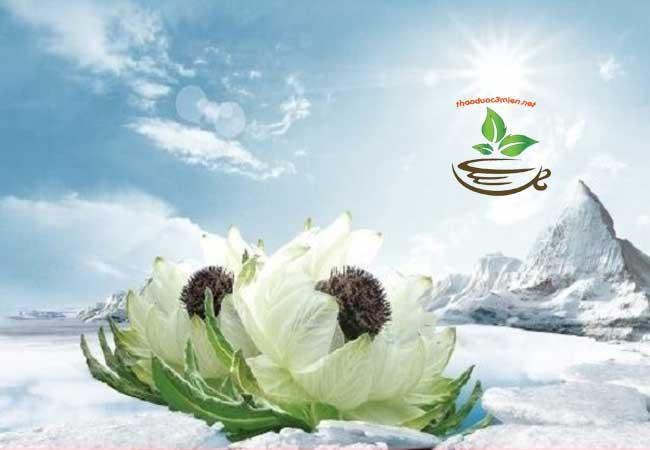 Cây hoa thiên sơn tuyết liên
