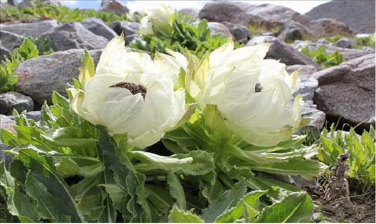 Hoa thiên sơn tuyết liên
